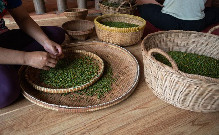 culture du poivre