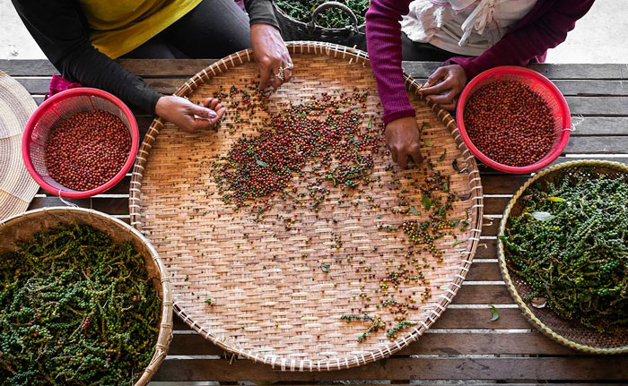 recolte-poivre de kampot cambodge