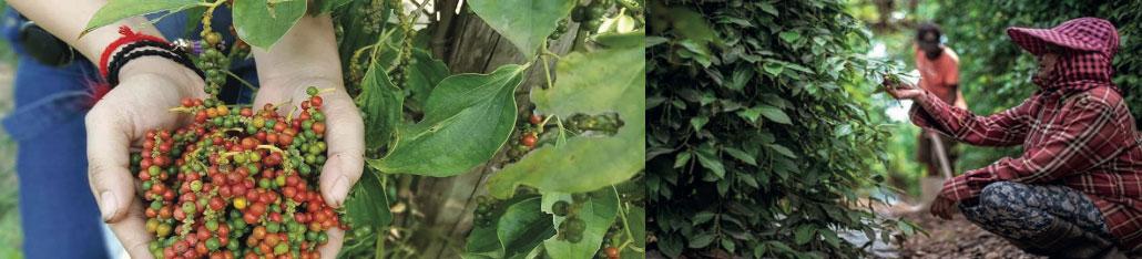 récolte poivre