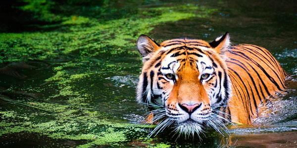Sauvez le Tigre