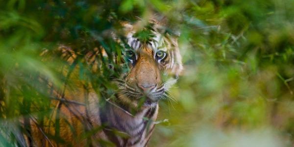 Sauver le Tigre du Cambodge